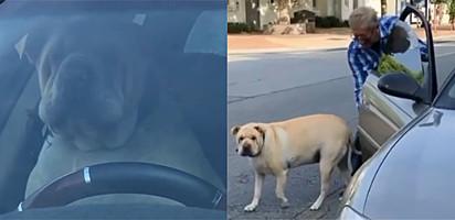 Cachorro cansa de esperar dono em carro e começa a buzinar sem parar.