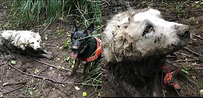 No Texas, Estados Unidos, cão de resgate encontra outro cachorro preso na lama.
