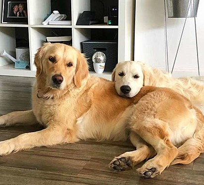 As golden retrievers Harper e Willow.