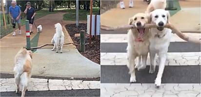 A cadela da raça golden retriever ajudou sua filha a carregar o galho gigante.