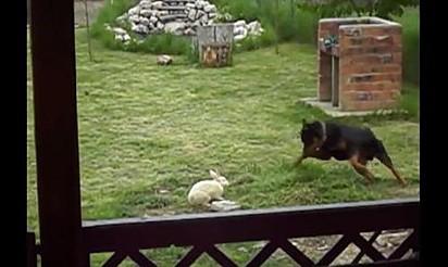 Foto: Reprodução Youtube / Rumble Viral Coelho e rottweiler.