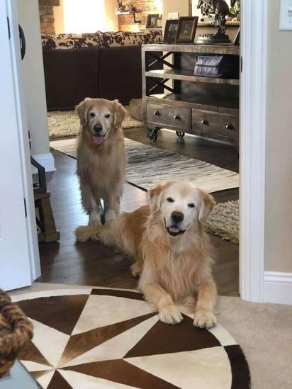 Os cães Salty e Bling, da raça golden retriever. (Foto: Facebook / Rochelle Andonian)