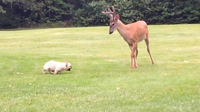 A cachorrinha Ellie-Mae e o cervo.