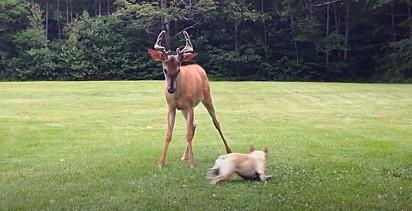 A buldogue brinca empolgada com o cervo.