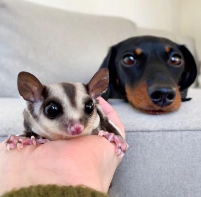 Foto: Instagram / loulouminidachshund