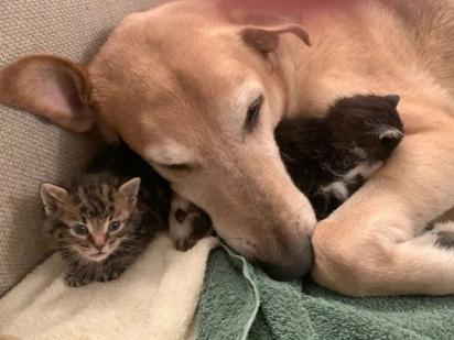 O cão Raylan ajuda sua dona a cuidar dos gatos que passam temporariamente em sua casa. (Foto: Instagram/raylan_the_dog)