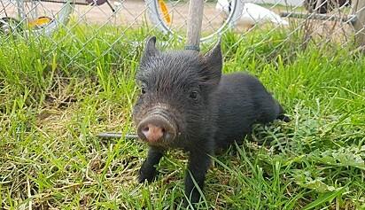 A família imagina que o animal se tornará um grande porco.