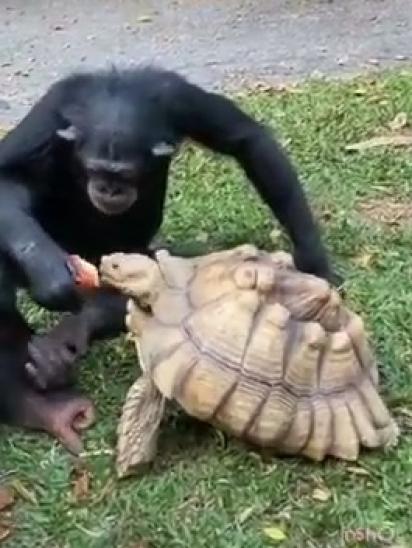 O chimpanzé alimenta a tartaruga na boca. (Foto: TikTok/@mokshabybee)