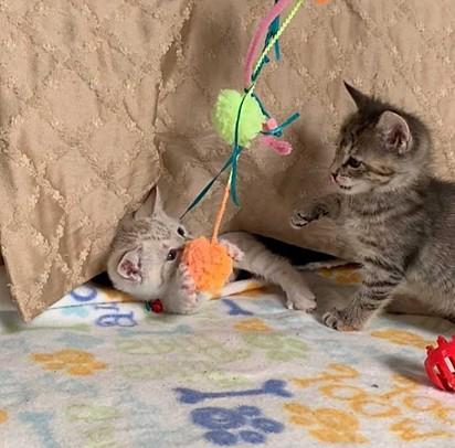 Os dois felinos adoram brincar juntos.