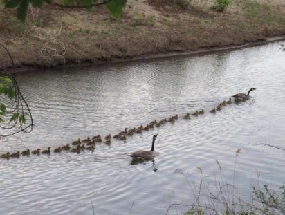 Os filhotes passeando no lago e fileira com a mamãe e papai ganso. (Foto: Facebook / Mike Digout)
