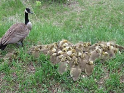 A cada dia o número de filhotes aumentava. (Foto: Facebook / Mike Digout)