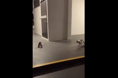 O gato passa longe da briga dos ratos. (Foto: Reprodução Facebook/Cheez Goh)