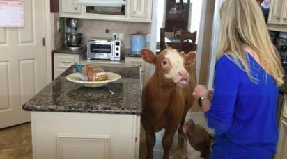A vaca perdeu a sua família na passagem do furacão Harvey no Texas em agosto de 2017.