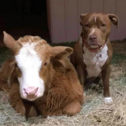 Harveigh logo fez amizade com o pit bull Sealy.