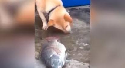 Akita tenta salvar a vida de peixes jorrando água com o próprio focinho. (Foto: Reprodução Youtube/Vídeos da Internet)