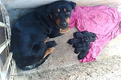 A rottweiler She-ra com os seus filhotes.