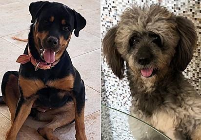 A rottweiler She-ra (à esquerda) e o poodle Ralf (à direita).