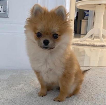 A cadelinha Lani, da raça Lulu da Pomerânia. (Foto: Reprodução/Daily Record)