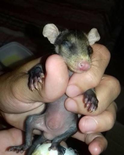 Os filhotes de gambá foram encontrados ainda bem novinhos. Foto: Arquivo Pessoal / Stephanie Maldonado