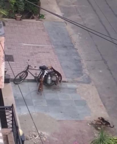 Ao verem a bicicleta com latão de leite, cachorros se aproximam para tentar derrubá-la. (Foto: Foto: Reprodução Youtube / ViralHog)