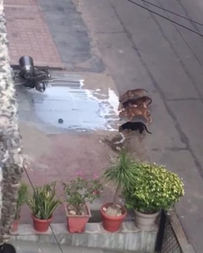 Os quatro cães se aproximam e começam a lamber a bebida derramada na calçada. (Foto: Reprodução Youtube / ViralHog)