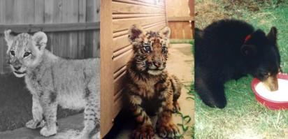 Leo, o leão africano / Shere Khan, o tigre de Bengala / Baloo, o urso. Foto: Facebook / Noahs Ark Animal Sanctuary