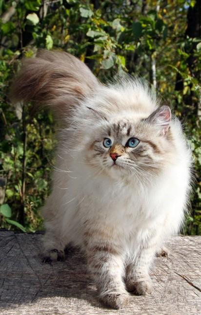 Siberian Cat / Reprodução Pinterest