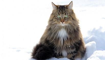 Gato norueguês / Foto: Reprodução Purina