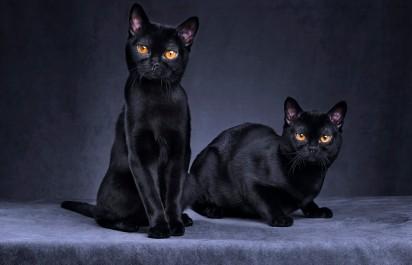 Bombay Cat / Reprodução cats.lovetoknow.com
