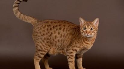 Ocicat / CatTime