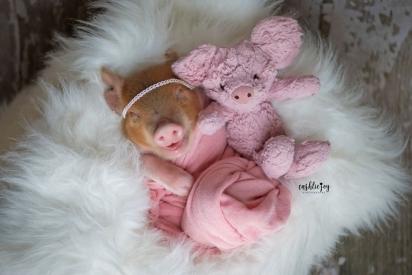 Um porquinho de pelúcia para um porquinho ainda mais fofo