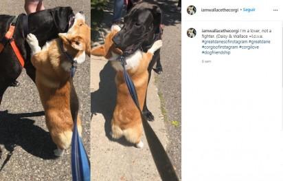 Wallace abraçando sua melhor amiga: a dogue alemã chamada Daisy (Créditos: Instagram/iamwallacethecorgi)