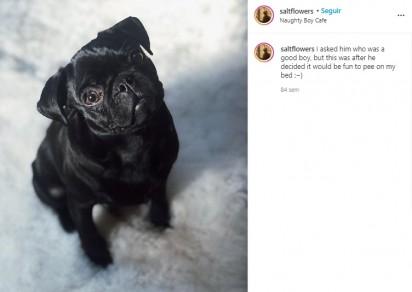 O pug Diego. (Foto: Instagram/saltflowers)