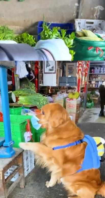 Golden retriever fazendo as compras para o seu dono. (Foto: Reprodução/TikTok)