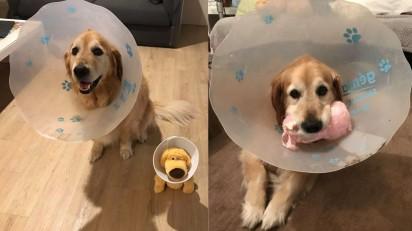 Cão golden retriever usa cone e ganha brinquedo de pelúcia que usa o mesmo acessório. (Foto: Arquivo Pessoal/Amber Gerick)