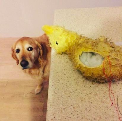 O cão Zep triste quando o seu amigo de pelúcia Quackity se rasgou. (Foto: Arquivo Pessoal/Amber Gerick)