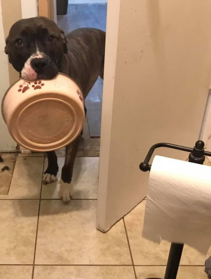 A pit bull Mya vai com sua tigela atrás de sua dona até no banheiro. (Foto: Facebook/Mya the Hungry Wiggle Butt)