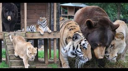 Amizade entre leão, urso e tigre dura mais de 15 anos em Atlanta, nos Estados Unidos. (Foto: Facebook / Noahs Ark Animal Sanctuary)
