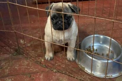Os cães estavam submetidos a espaços inadequados, com pouca capacidade de locomoção e alimentação irregular. (Foto: Divulgação/SOS PUG)
