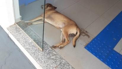 Na mesma semana na cidade de Ribas do Rio Pardo (MS), um cão também decidiu relaxar e dormir debaixo de um ar-condicionado de uma agência bancária. (Foto: Reprodução/Rio Pardo News)