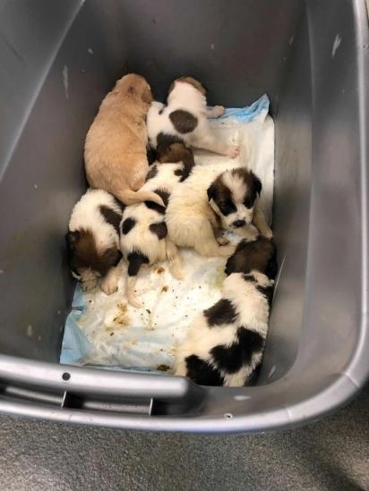 Os filhotes estão sob supervisão veterinária e daqui alguns dias estarão disponíveis para adoção. (Foto: Facebook/San Antonio Pets Alive)