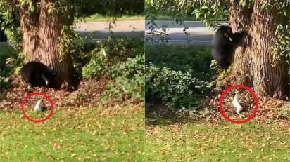 Cão da raça Jack Russell persegue urso no jardim. (Foto: Reprodução Storyful/David Jonsson)