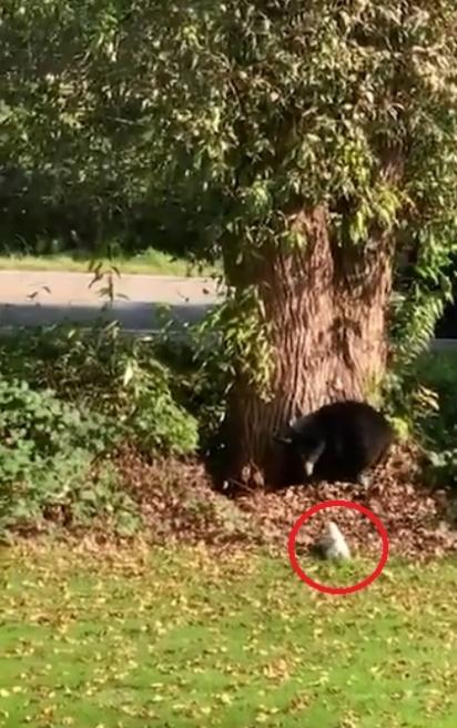 Cão da raça Jack Russell avança em urso negro. (Foto: Reprodução Storyful/David Jonsson)
