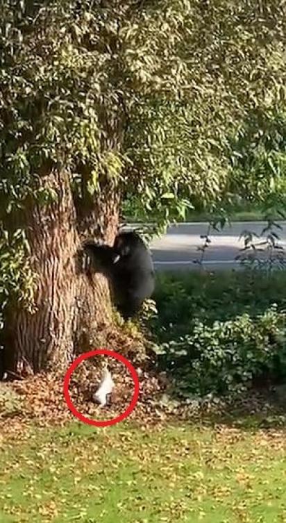 Urso se amedronta com cachorro da raça Jack Russell e sobe em árvore. (Foto: Reprodução Storyful/David Jonsson)