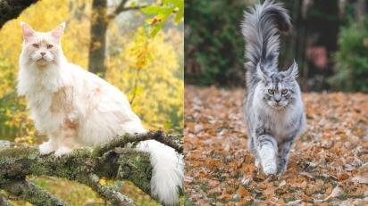 Os gatos da raça Maine Coon são dóceis, temperamentais e lindos. (Foto: Instagram/lotus_the_mainecoon | Instagram/mainecoonqueens)