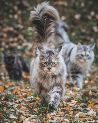 Os gatos Tiara, Luna e Lizzie. (Foto: Instagram/mainecoonqueens)