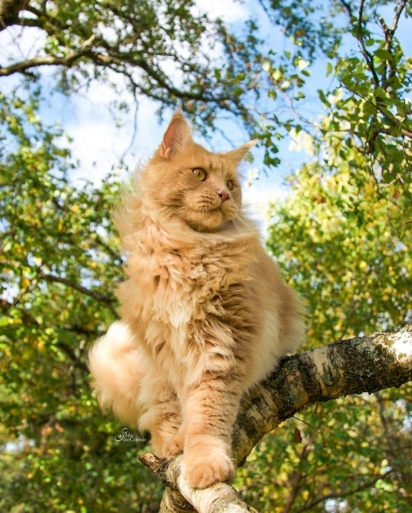 O gato Sebastian. (Foto: Instagram/sebbethecoonis)
