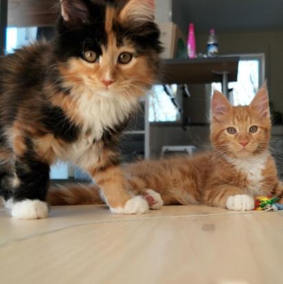 Os gatos Mila e Merlin. (Foto: Instagram/mycoonieslife)
