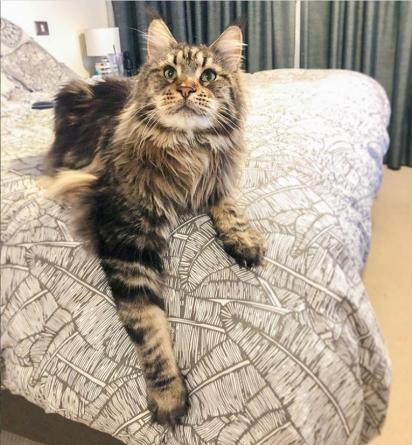 O gato Bruno. (Foto: Instagram/bruno.coon)