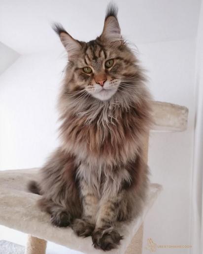 O gato Uberto. (Foto: Instagram/ubertomainecoon)